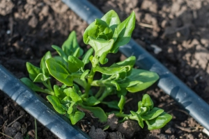 New Zealand Spinach, Photo by Heather Gladstone