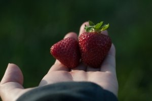 Freshly-Picked Strawberries, Photo by Heather Gladstone