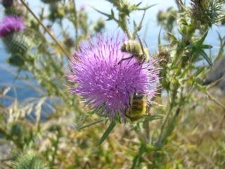 Bee & thistle 053